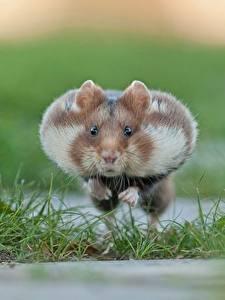 Hintergrundbilder Hamster Nagetiere Laufsport Sprung Tiere