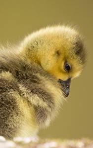 Fotos Vögel Hühner Großansicht Farbigen hintergrund Tiere