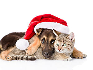 Pictures Christmas Dogs Cat White background Two Winter hat Puppies animal