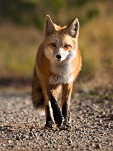 Hintergrundbilder Füchse Unscharfer Hintergrund Blick ein Tier