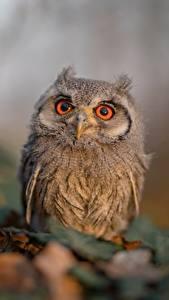 Fotos Eulen Vögel Bokeh Blick Ptilopsis leucotis