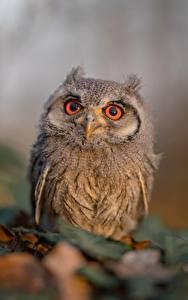 Fotos Eulen Vögel Bokeh Blick Ptilopsis leucotis ein Tier