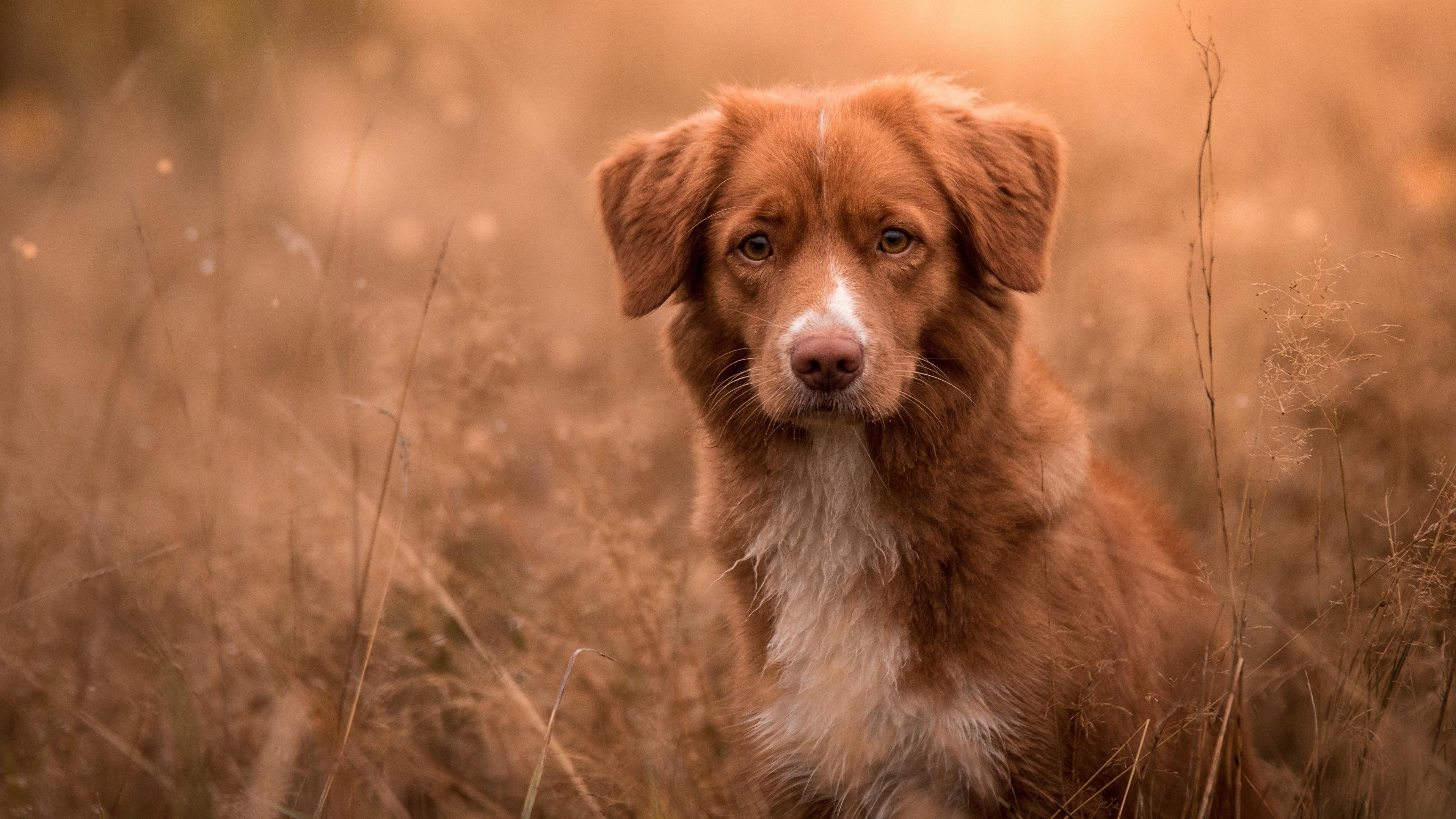 Picture Retriever Nova Scotia Duck Tolling Retriever Dogs 3840x2160