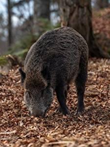 Bilder Wildschwein Herbst Unscharfer Hintergrund Blattwerk ein Tier