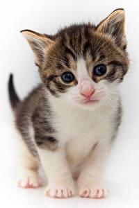 Fotos Katzen Kätzchen Blick Weißer hintergrund ein Tier