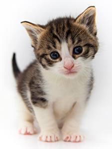 Desktop hintergrundbilder Katzen Kätzchen Blick Weißer hintergrund ein Tier