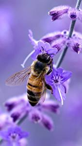 Photo Lavandula Closeup Bees Insects Blurred background Animals