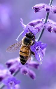 Tapety na pulpit Lawenda Z bliska Pszczoły Owady Rozmazane tło Zwierzęta
