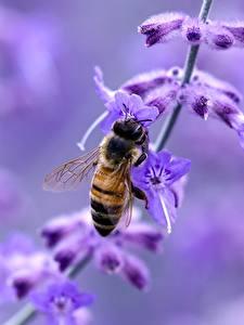 Bakgrunnsbilder Lavendler Nærbilde Bier insekt Insekter Uklar bakgrunn Dyr