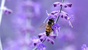 Fotos Lavendel Nahaufnahme Bienen Insekten Unscharfer Hintergrund Tiere