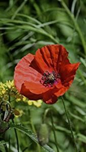 Hintergrundbilder Mohnblumen Rot Blütenknospe Gras Blüte