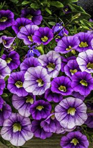 Hintergrundbilder Petunien Viel Großansicht Blumen