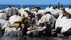 Pictures Stones Birds Seals Sea lion Animals