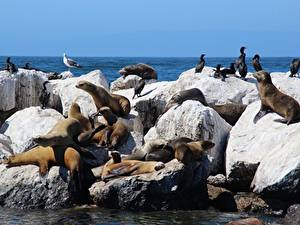 Pictures Stones Birds Seals Sea lion Animals