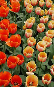 Bilder Tulpen Hautnah Blüte