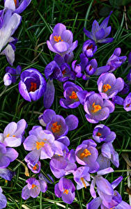 Fotos Krokusse Großansicht Violett Blumen