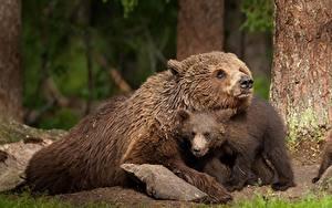 Fotos Bären Braunbär Jungtiere 2