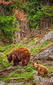 Fotos USA Park Bären Jungtiere Braunbär Steine Zwei Sequoia National Park