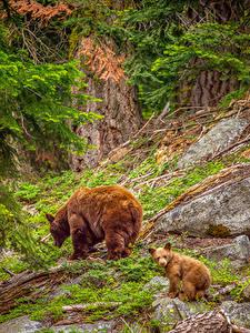 Fotos USA Park Bären Jungtiere Braunbär Steine Zwei Sequoia National Park Tiere