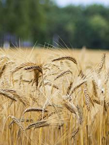 Hintergrundbilder Acker Ähren Rye