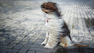 Fotos Hunde Wind Chinese Crested Sitzt Tiere