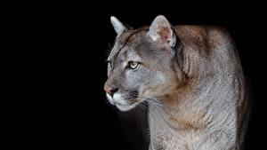 Bilder Pumas Schwarzer Hintergrund Starren Tiere