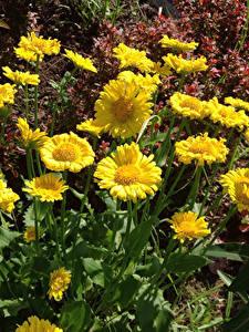 Fotos Gänseblümchen Gelb Blumen