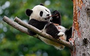 Bilder Bären Großer Panda Ast Tiere