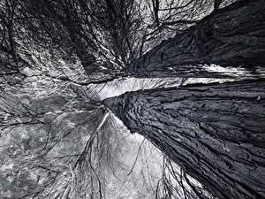 Fotos Baumstamm Schwarz weiß Untersicht Ansicht von unten Ast Bäume