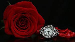 Fotos Rosen Uhr Rot Blüte