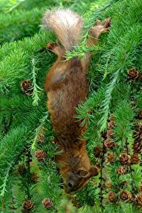 Pictures Squirrels Spruce Branches Conifer cone Animals