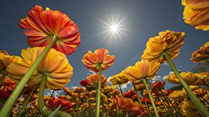 Bilder Tulpen Sonne Untersicht Ansicht von unten Blumen