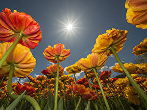 Images Tulips Sun Bottom view Flowers