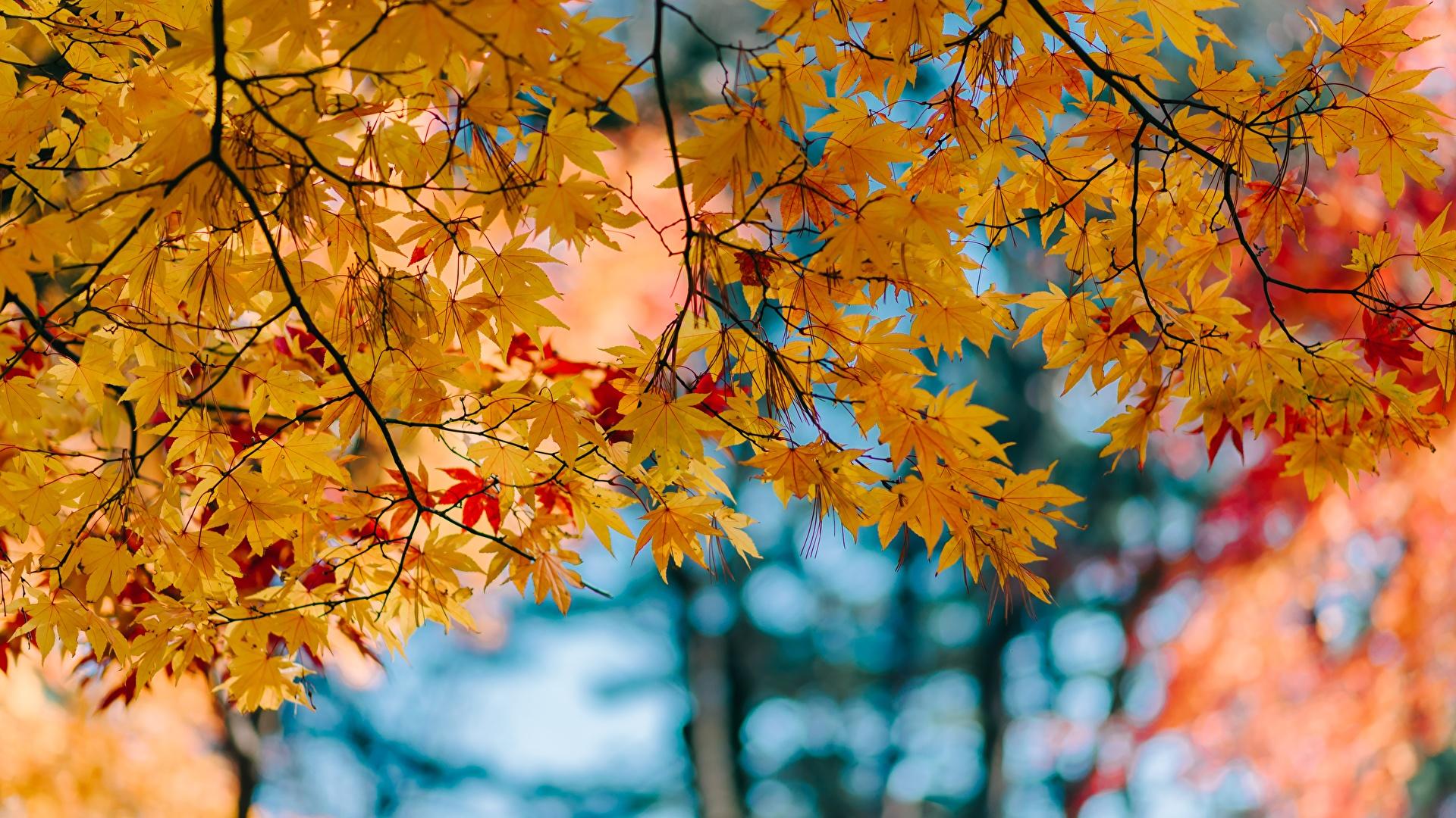 壁紙 1920x1080 秋 木の葉 カエデ 枝 自然 ダウンロード 写真