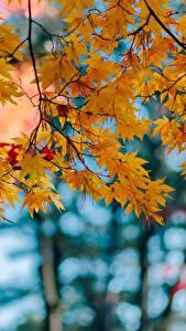 Hintergrundbilder Herbst Blattwerk Ahorne Ast Natur