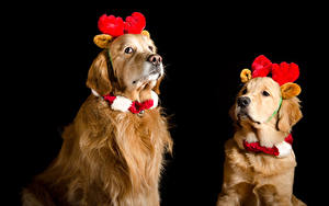 Fotos Neujahr Hunde Golden Retriever Schwarzer Hintergrund Zwei Horn