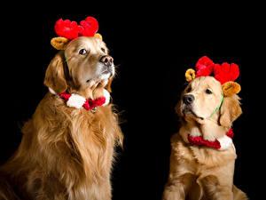Fotos Neujahr Hunde Golden Retriever Schwarzer Hintergrund Zwei Horn ein Tier