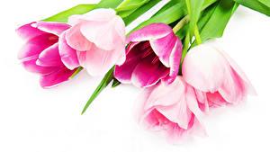 Hintergrundbilder Tulpen Großansicht Weißer hintergrund Rosa Farbe Blüte