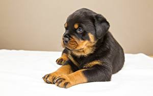 Wallpapers Dog Rottweiler Puppies Paws Staring Animals