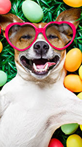 Fotos Feiertage Ostern Hunde Eier Brille Jack Russell Terrier Lustige Lächeln ein Tier
