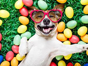 Fotos Feiertage Ostern Hunde Ei Brille Jack Russell Terrier Lustige Lächeln Tiere