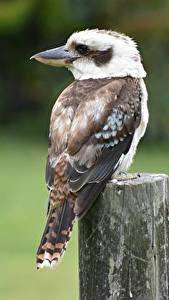 Bilder Vogel Unscharfer Hintergrund Kookaburras ein Tier
