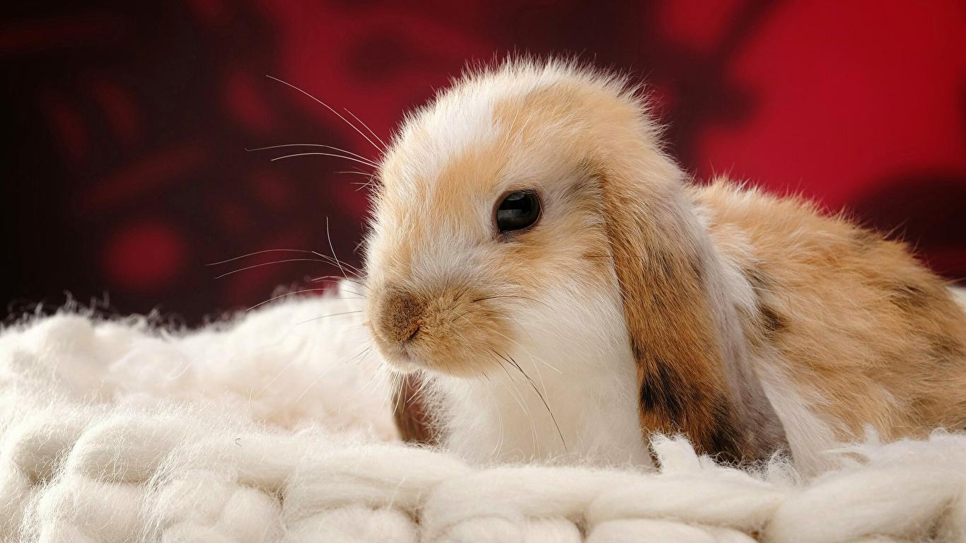 Tapeta Króliki Głowa Zwierzęta 1366x768 królik zwierzę