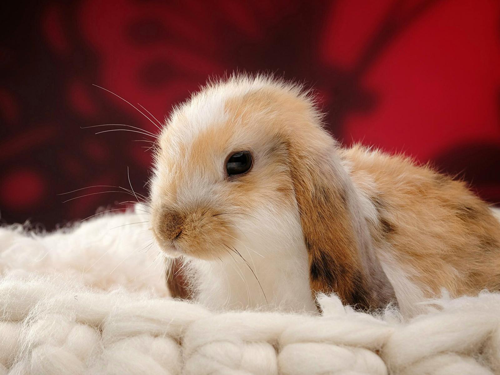 Achtergronden bureaublad Konijn Hoofd Dieren 1600x1200 konijnen een dier