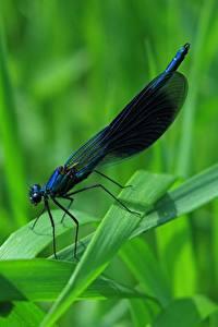 Bilder Nahaufnahme Libellen Insekten Gras Calopteryx virgo Tiere