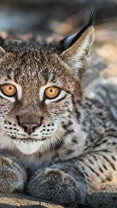 Wallpapers Lynx Staring Snout Animals