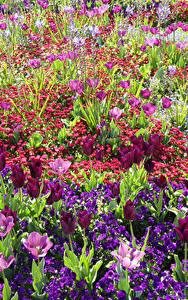 Bilder England Park Tulpen Gänseblümchen Primeln Wrest Park Bedfordshire Blumen