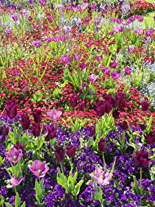 Bilder England Park Tulpen Gänseblümchen Primeln Wrest Park Bedfordshire Blüte