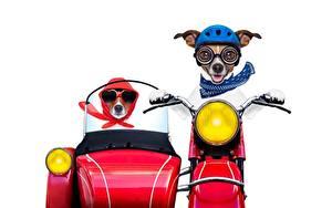 Fotos Hunde Motorradfahrer Weißer hintergrund Jack Russell Terrier Lustige Helm Tiere