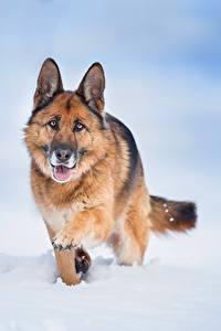 Hintergrundbilder Hunde Shepherd